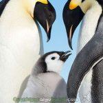Una pareja de pingüinos acompaña a su pequeña cría en una tierna estampa. Foto de Christopher Michel.