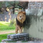 Un león del zoo de Buenos Aires que dejará de vivir en cautiverio. Foto de jazpdx.