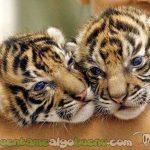 20160726-1-tigres-nepal-2