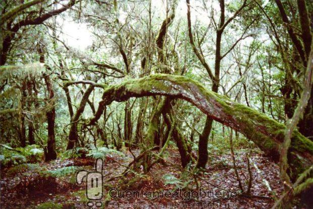 Bosque de Laurisilva de la época terciaria en el Parque Nacional de Garajonay.Isla de La Gomera.Islas Canarias, un ejemplo de biodiversidad. Foto: perlaroques.