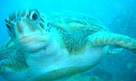 Inventan una herramienta para reducir la mortalidad de las tortugas marinas