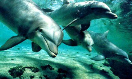 Investigan un lenguaje para comunicarse con los delfines