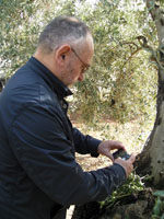 El Oleoturista podrá apadrinar un olivo