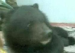 Rescatan a una cría de oso en China