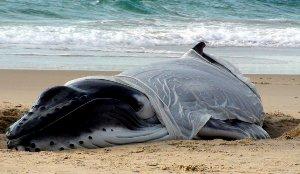 Rescatan a una cría de ballena de la costa de Australia