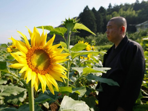 Plantando girasoles para limpiar Fukushima