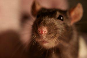 Los roedores son solidarios