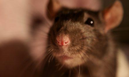 Las ratas de laboratorio ejemplo de solidaridad con sus compañeras