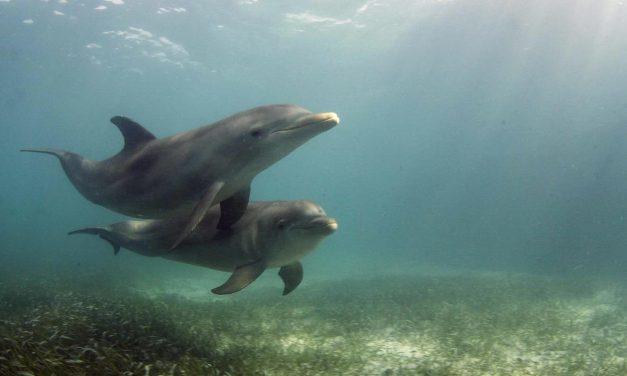 Crean una sistema que permitirá comunicarse con los delfines