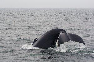 Un nuevo sistema de navegación evitará que los barcos colisionen con ballenas