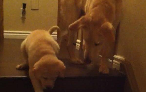 Perro enseña a una cachorrilla a bajar las escaleras