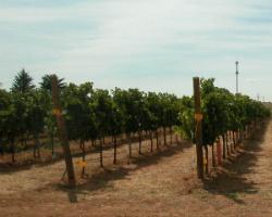 Nuevo sistema para monitorizar el rendimiento de la uva
