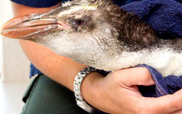 Rescatan a un pingüino real en Nueva Zelanda