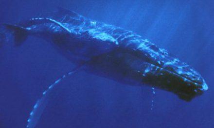 En busca de aumentar la población de ballenas azules en la Antártida