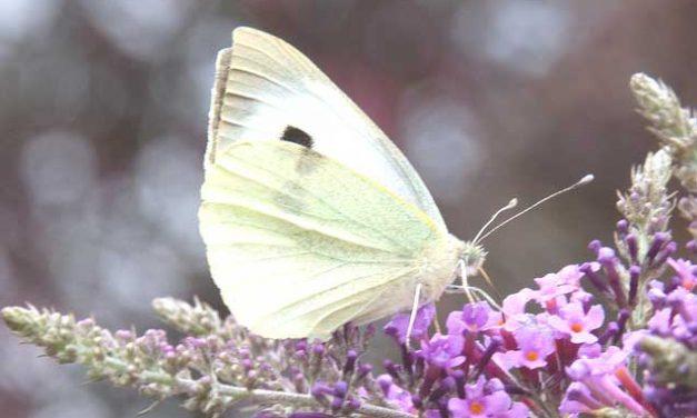 El cuento de la mariposa blanca