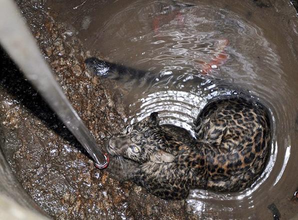 Final feliz para el leopardo que cayó en un pozo