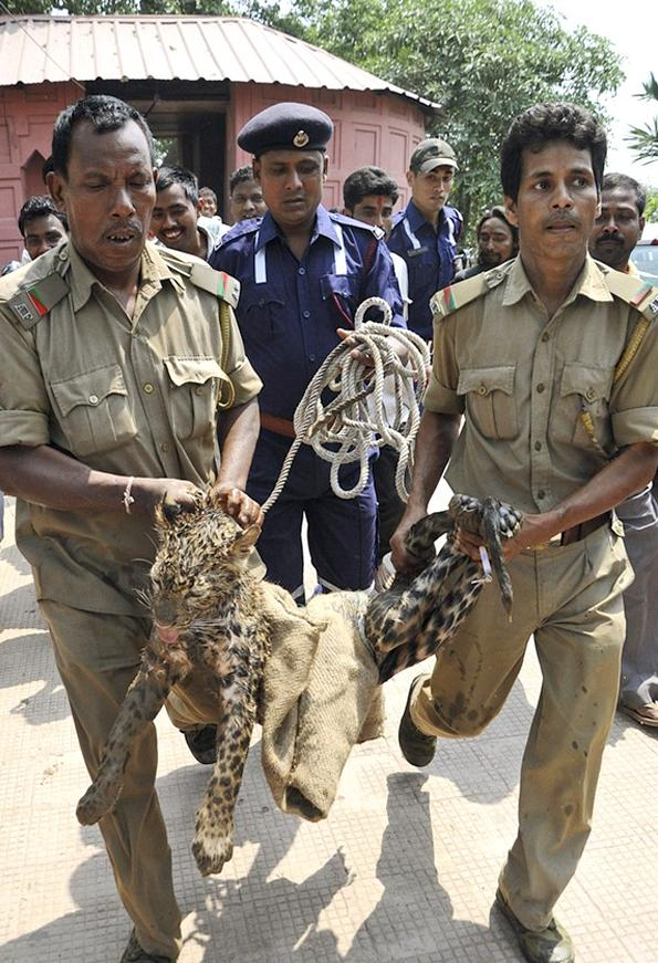 Rescatan a un Leopardo en India