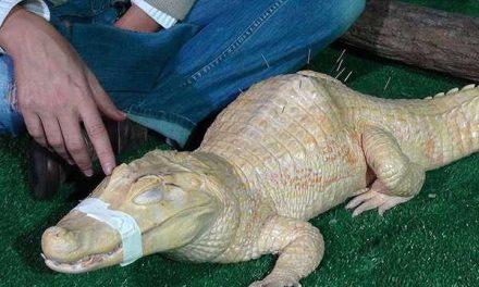 Aplican tratamiento de acupuntura a un cocodrilo para aliviar su dolor