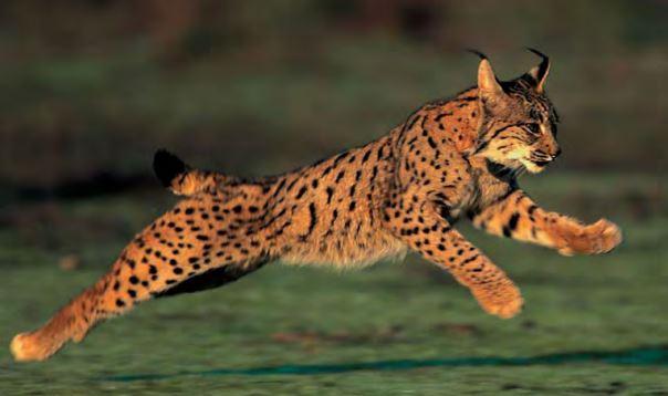 El lince, símbolo de la fauna de la península ibérica. Foto lynxexsitu.es