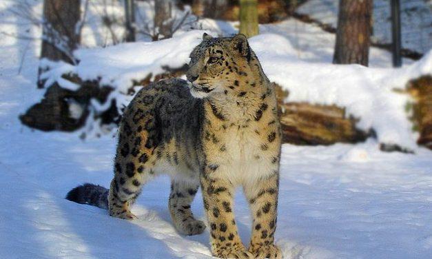 Países asiáticos firman compromiso histórico para salvar al leopardo de las nieves en peligro de extinción