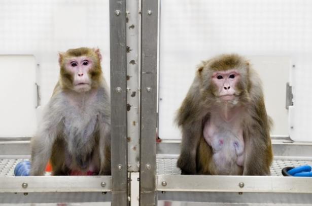 Consiguen que un mono controle con su cerebro los movimientos de otro paralizado