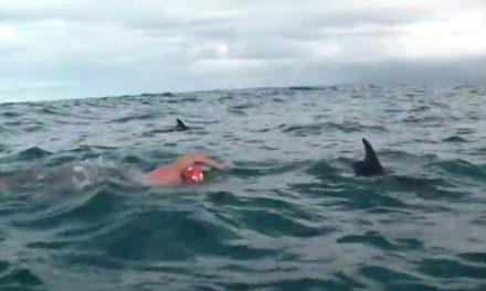 Un grupo de delfines protege a un nadador de un gran tiburón blanco