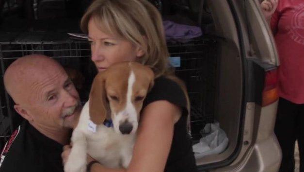 Unos perros beagle experimentan la libertad por primera vez en sus vidas