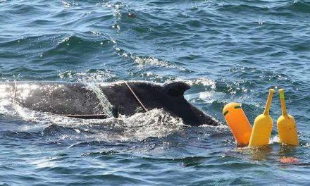 Rescatan a una ballena jorobada que había quedado atrapada en redes pesqueras