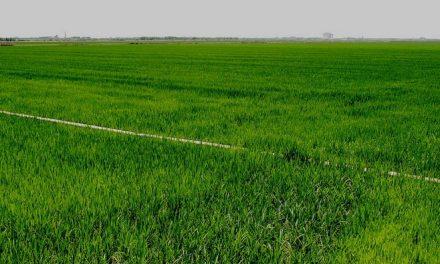 Sosrice – Reducción de emisiones de gases de efecto invernadero en cultivos de arroz