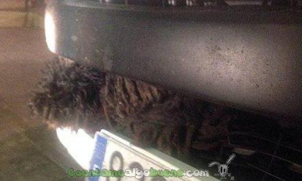 Adopta a un perro que sobrevivió tras ser atropellado por un camión y que viajó de Osuna a Mijas