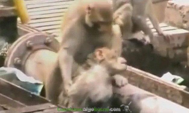 Un mono salva a otro en una estación de tren de India