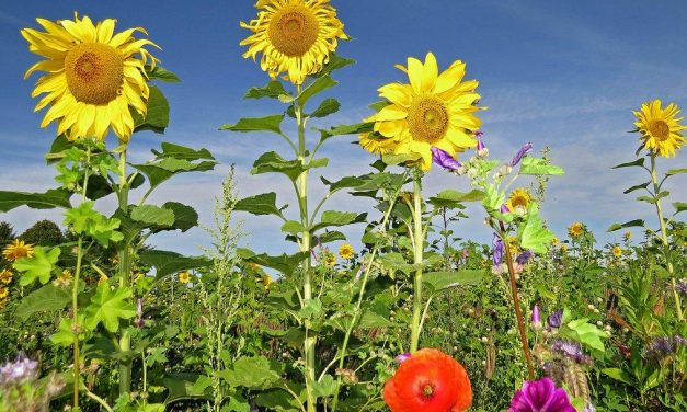 Transforman residuos de plantas de biogás en fertilizante de alta calidad