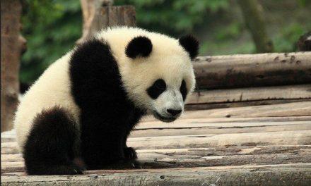 Aumenta la población de osos panda en China