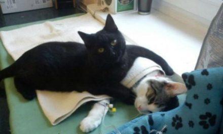 """La increíble historia del gato """"enfermero"""" que cuida a los animales"""