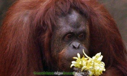 Conceden en Argentina la semilibertad a la orangután 'Sandra' tras considerarla un 'sujeto con derechos'
