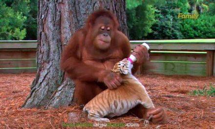 El orangután que adoptó a tres cachorros de tigre