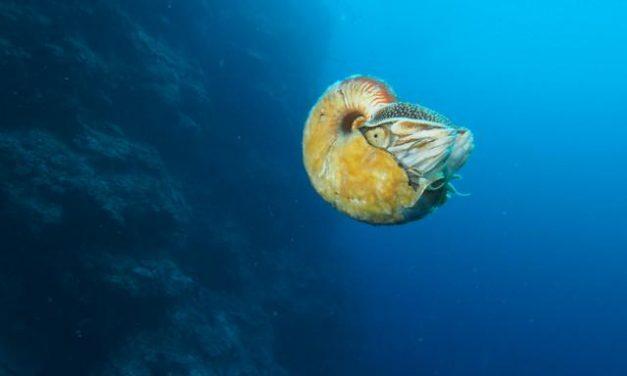 Nautilus, de nuevo a la vista