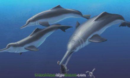 Nuevas pistas fósiles sobre el delfín de río