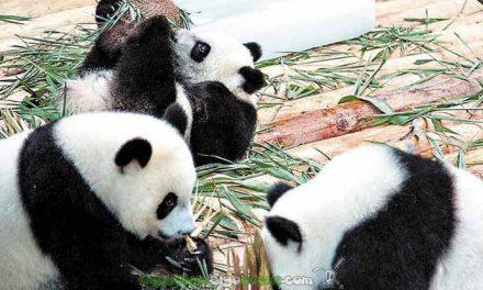 Paso a paso en la conservación del oso panda