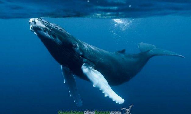Las ballenas, una solución al cambio climático