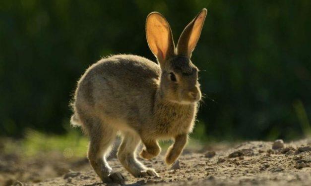 Una ayuda para el conejo silvestre, una ayuda para el lince