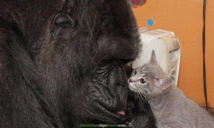 La gorila Koko y sus gatitos bebés