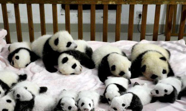 Veintitrés nuevas crías de panda en el mundo