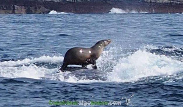 Foca surfeando sobre una ballena