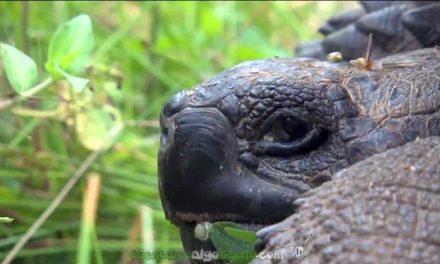 Nueva especie de tortuga gigante