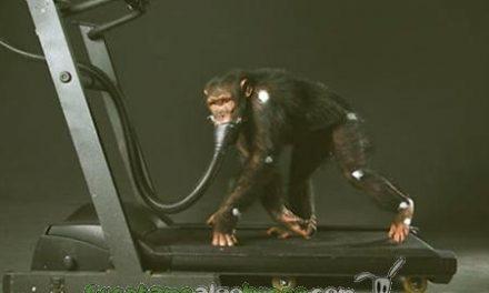 No más chimpancés para investigaciones médicas