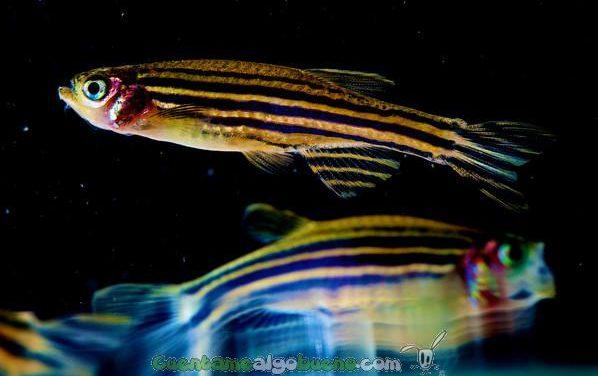 Emociones y conciencia en los peces