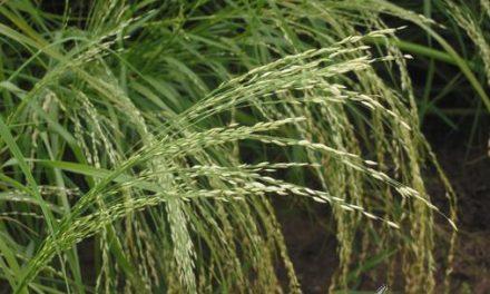 La idoneidad de la harina de tef