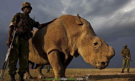 Por la salvación del rinoceronte blanco norteño