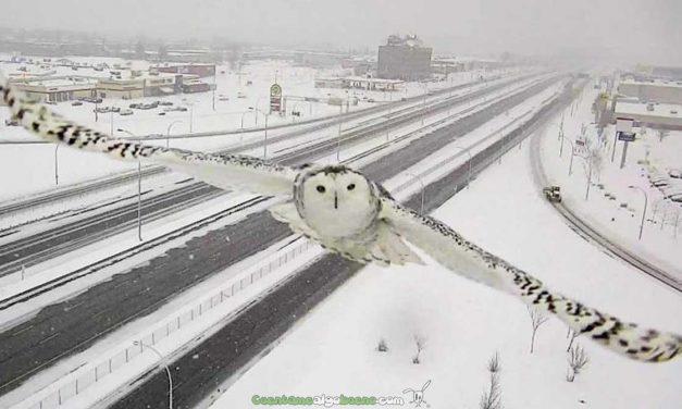El búho nevado nos saluda